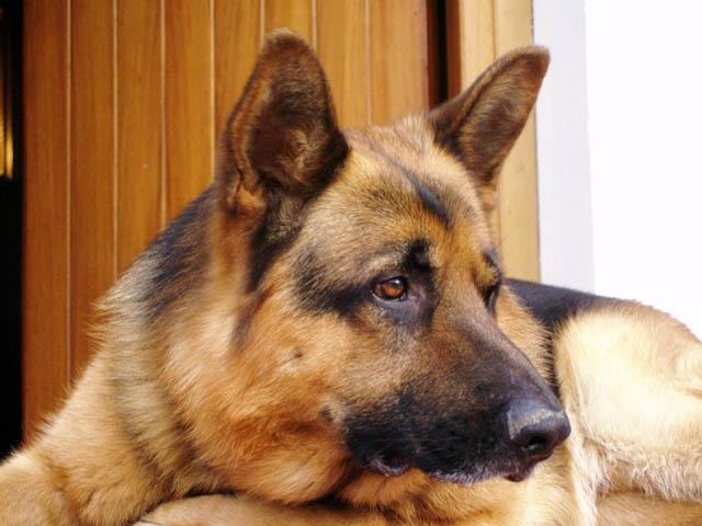 Il pastore tedesco arcadiaclub com - Colorazione immagine di un cane ...