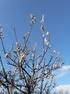CLICK PER INGRANDIRE   TITOLO: Albicocco in fiore